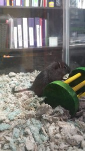black gerbil at toy