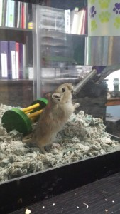 brown gerbil drinking water